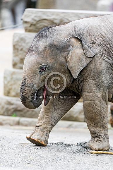 Baby Asian Elephant