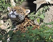 jaguar hiding in bushes