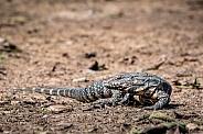 Black & White Lizard