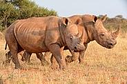 White Rhinos Walking