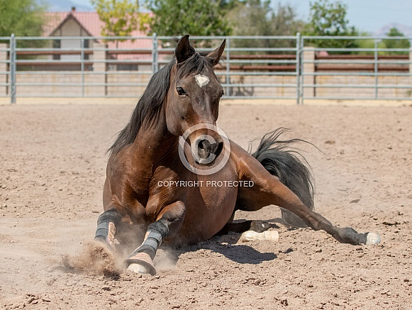 Quarter horse getting up from rolling in the sand