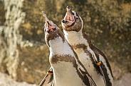 Manchot Humboldt penguins