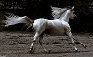 Arabian Stallion Action Shot