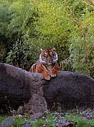 Sumatran tigress