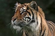 Sumatran Tiger Looking Sideways