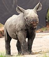 Black Rhino baby