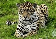 Jaguar Full Body Lying Down