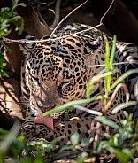Jaguar Cleaning (wild)