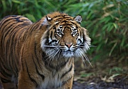 Sumantra Tiger Prowling