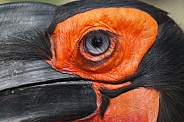 Southern ground hornbill