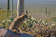 Coyote Surveys The Desert