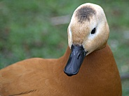 Ruddy Shell Duck