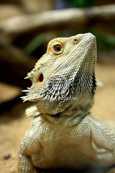 Bearded Dragon - Pogona vitticeps