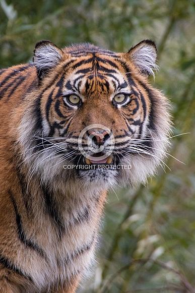 Sumatran Tigress(Panthera Tigris Sumatrae)