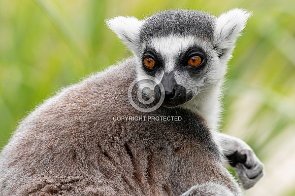 Ring Tailed Lemur Close Up