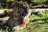 Sumatran Tiger Lying Down Snarling