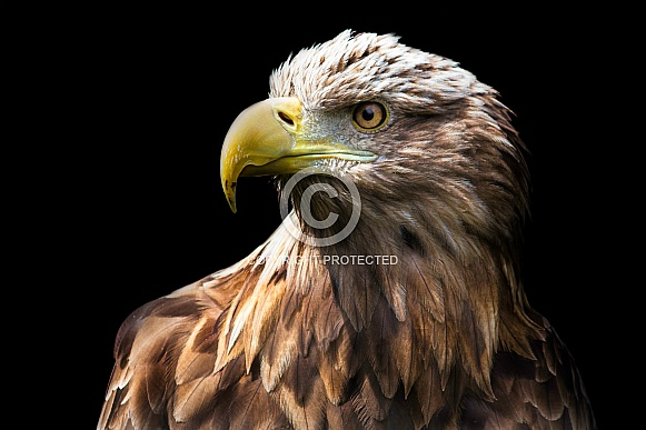 White Tailed Sea Eagle close up