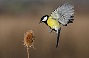 Hovering Great tit