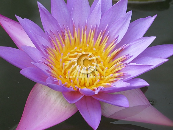 Blue water lily/Nymphaea stellata