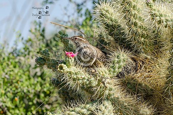 Cactus Wren in Cholla Cactus