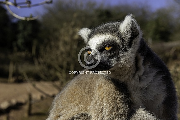 Ring tailed lemur close up