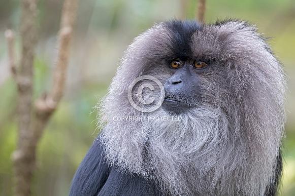 Lion-tailed macaque (Macaca silenus)