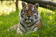 Amur Tiger Lying In The Grass