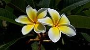 Frangipini Flower