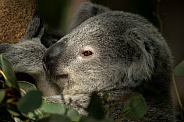 Young Koala Close Up