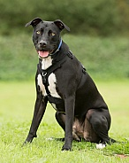 Black Crossbreed with Yellow Eyes