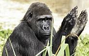 Western Lowland Gorilla Clapping Hands