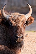 Young Bison