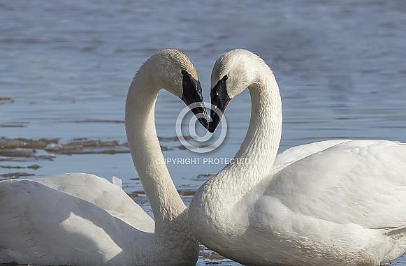 Trumpeter Swan Pair in Alaska