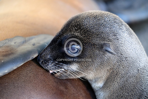 Californian Sea Lion cub (Zalophus californianus)