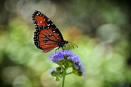 Butterfly Queen and Butterfly Weed