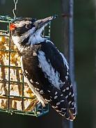 Male Hairy Woodpecker Closeup in Alaska