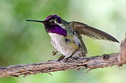 Costa's Hummingbird (Male)