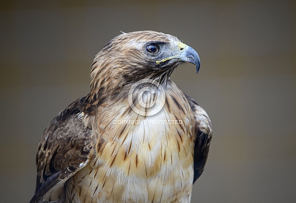 Close up of a red tailed hawk in profile