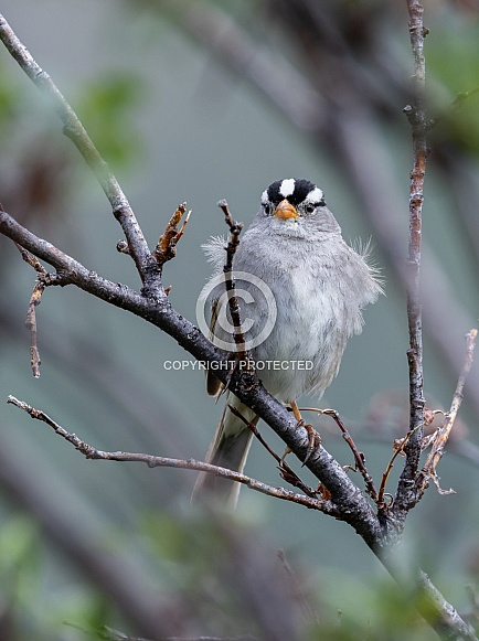 White-crowned Sparrow in Alaska
