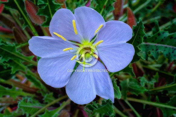 Evening Primrose in Bright Color