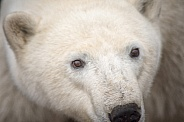 Wild Polar Bear in Canada