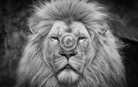 Close up Lion black white