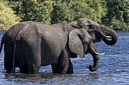 African Elephants - Chobe River - Botswana
