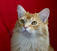 Beautiful male ginger cat