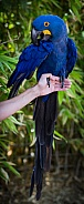Blue Macaw Parrot