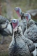 Domestic turkeys, Meleagris gallopavo f. domestica