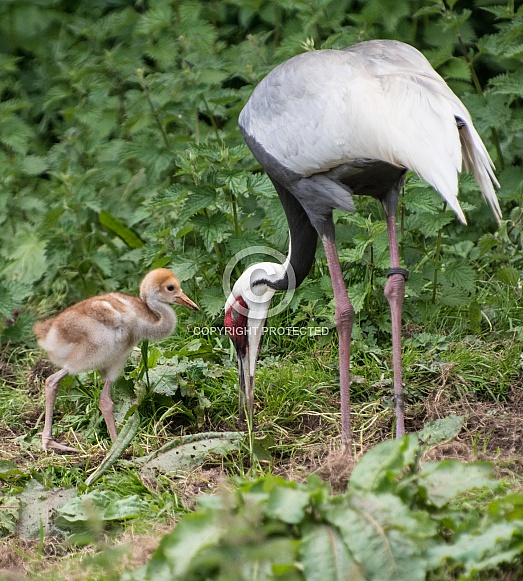 White naped crane with chick