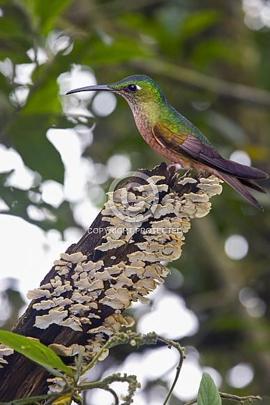 Fawn-breasted Brilliant Hummingbird