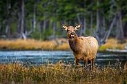 Cow Elk in meadow