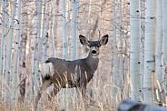 Mule deer buck in birch forest